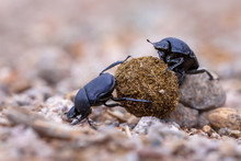 Hard Working Dung Beetles Faci...