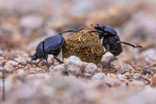 moiling strong dung beetles facing challenges