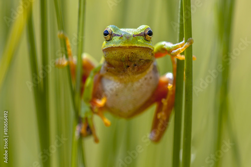 Tree frog frontal view Wallpaper Mural