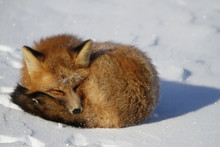 Red Fox Curled Up In A Snowban...