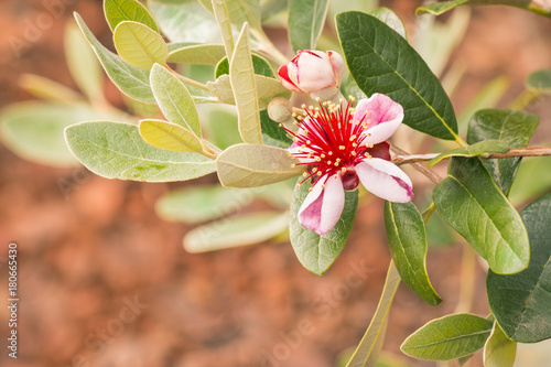 feijoa tree with flowers in bloom on brown background Fototapet