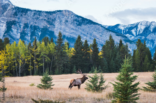 Photo Stands Canada Wild elk in the Canadian Rockies, Banff National Park