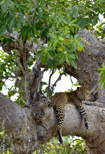 Leopard on a tree. The Sri Lankan leopard