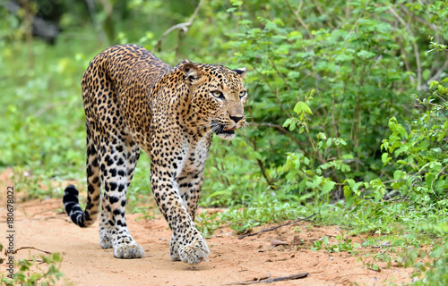 Leopard walking on a sand road. The Sri Lankan leopard