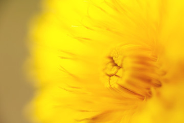 Obraz flower dandelion. macro photo. Yellow background. wallpaper.