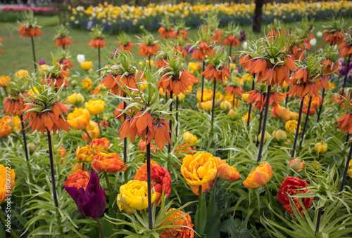 Fotografie, Obraz  Fritillaria imperialis and colorful tulips flowers blooming in a garden