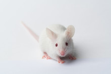 White Laboratory Mouse Close-up On A White Background