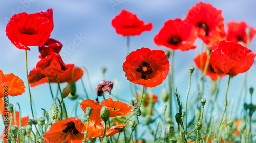 Tuinposter Rood Field of Poppies in Sussex