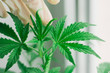 Top of a small cannabis plant growing a macro shot on a vegetation And the hands of a medical professional