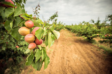 A Branch With Peaches And Green Leaves. Peach Orchard And Dirt Path