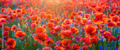 Poster Poppy Poppy meadow in the light of the setting sun
