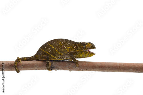 Female Lizard Wills  chameleon isolated on white background
