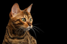 Portrait Of Bengal Cat, Lookin...