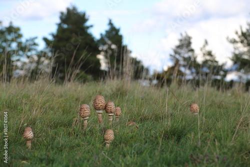 Photo Several fruit bodies of the edible parasol mushroom (Macrolepiota procera)