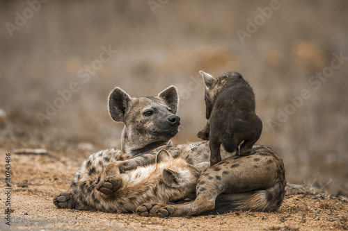 Staande foto Hyena Spotted hyaena in Kruger National park, South Africa