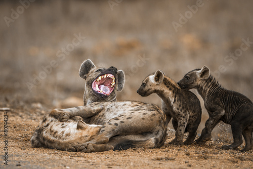 Foto op Aluminium Hyena Spotted hyaena in Kruger National park, South Africa