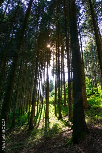 wysokie-drzewa-w-lesie-z-promieniami-slonca