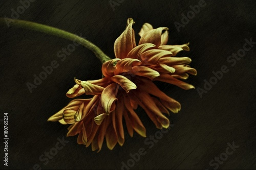 Papiers peints Fleur Gerbera against plain background