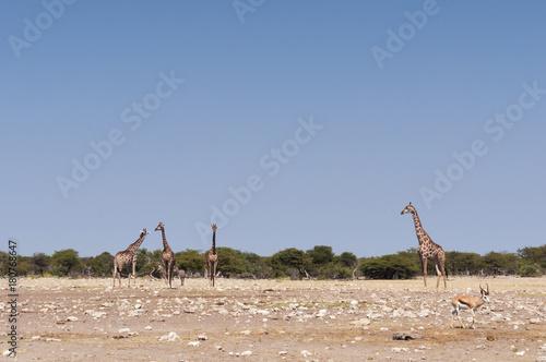 Giraffes at the Etosha National Park / Giraffe and springbok in Etosha National Park, Africa Poster