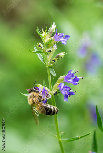 Closeup of Hyssop flowers (Hyssopus officinalis) and honey bee II Canvas Print