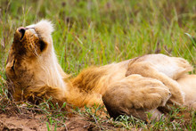 Lazy Lion / Entspannter Löwe