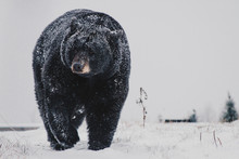 Black Bear In The Snow