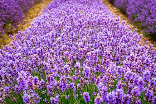 szczegol-linia-lawendowi-kwiaty-blisko-valensole-wioski-provence-francja