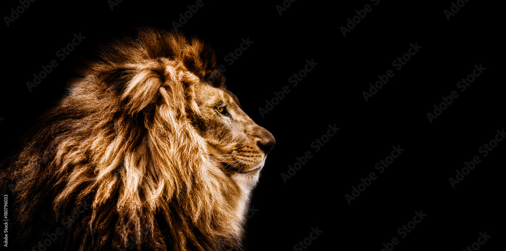 Fototapeta Portrait of a Beautiful lion, Cat in profile, lion in dark