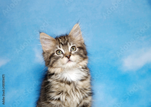 Fotografie, Obraz  Portrait of a small black tan and white tabby kitten against a blue background, sky with clouds