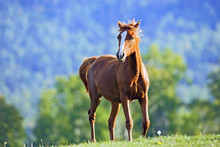 Chestnut Arabian Foal Playing ...