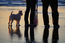 Dog Walking On A Leash On The Beach At Sunset