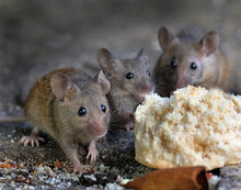 Mice Feecing In An Urban House...