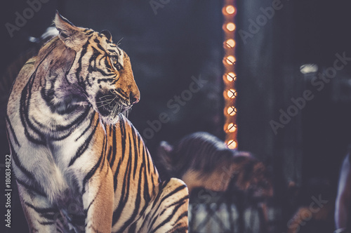 tiger at the circus arena