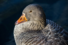 Goose Head In London