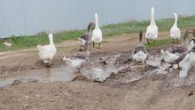 Flock Of Geese In The Dirty Pu...