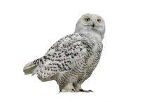 Owl (Nyctea Scandiaca)