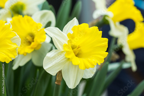 Papiers peints Narcisse Narcissus flower. White and yellow