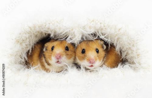 cute Syrian hamster in a fluffy hole