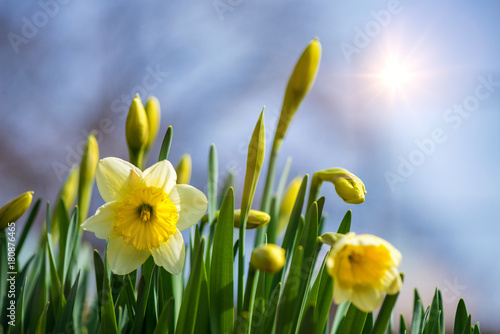 Blooming spring flowers daffodils in early spring garden buy this blooming spring flowers daffodils in early spring garden mightylinksfo