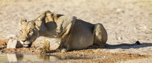 Large Lioness Drinking Water F...