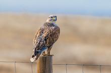 A Gorgeous Ferruginous Hawk Pe...