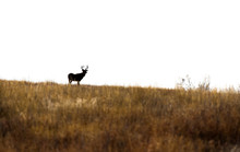 A White-tailed Deer Silhouette...