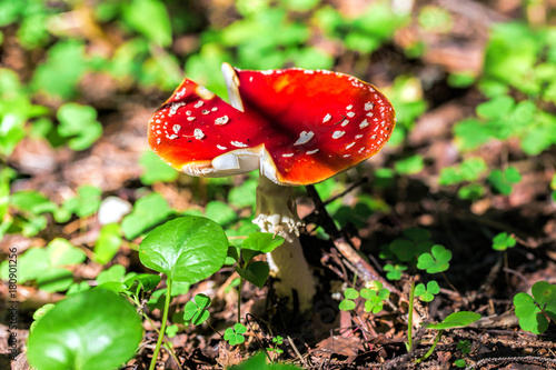 Fotografie, Obraz  Fly Agaric (Amanita muscaria) toadstool growing on moss