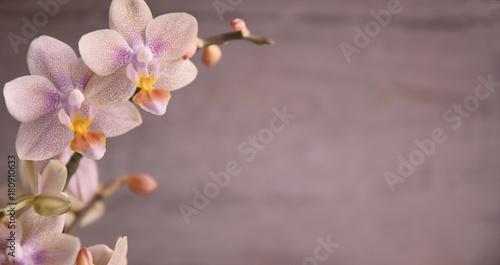Garden Poster Orchid Orchidee, Orchideenblüten
