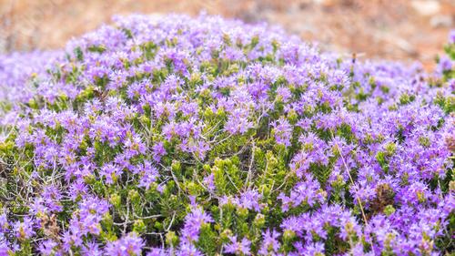 Favignana Island Sicily - Purple little flowers of wild rosemary, part of the Mediterranean scrub on the Island of Favignana, Sicily Canvas Print