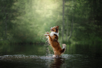 Dog border collie standing in the water