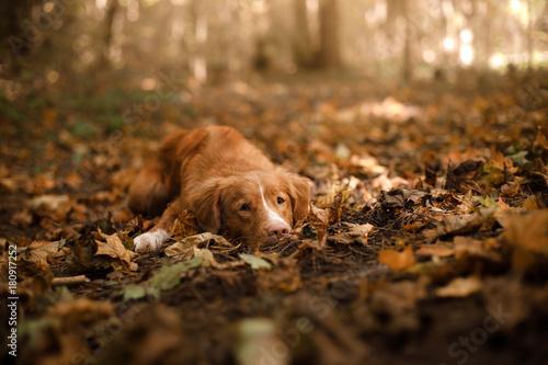 Stampa su Tela The Nova Scotia duck tolling Retriever dog lying on fallen leaves