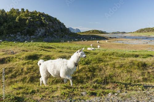 A llama grazing in the Atlantic shore meadows in the Lofoten Poster