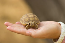 Baby Turtle In The Hand
