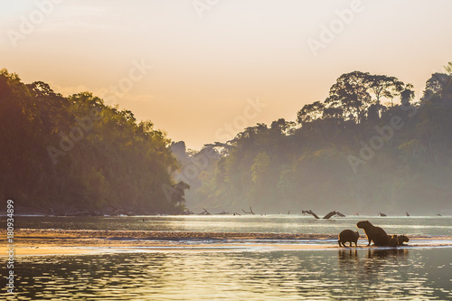 Valokuva  Manu National Park, Peru - August 06, 2017: Family of Capybara at the shores of